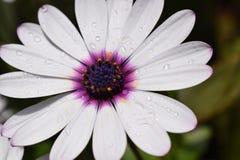 Flower, Flora, Purple, Close Up royalty free stock image