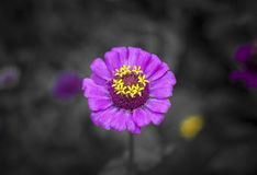 Flower, Flora, Purple, Petal royalty free stock photography