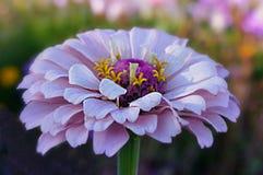 Flower, Flora, Purple, Petal Stock Image