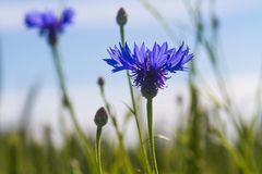 Flower, Flora, Purple, Wildflower Royalty Free Stock Images