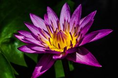 Flower, Flora, Purple, Yellow royalty free stock photography