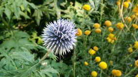 Flower, Flora, Thistle, Plant Royalty Free Stock Image