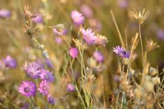 Flower, Flora, Wildflower, Purple Stock Photo