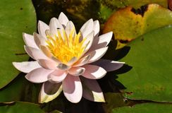 Flower, Flora, Yellow, Aquatic Plant stock photo