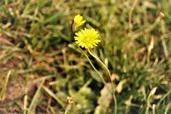 Flower, Flora, Yellow, Flatweed Stock Photography