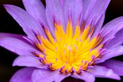Flower, Flora, Yellow, Purple Royalty Free Stock Photo