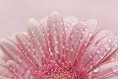 Flower floral background. Flower background, beautiful fresh flower of gerber with water drops isolated over pink Royalty Free Stock Photography
