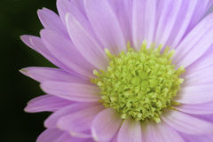 Pink and lime green gerbera. Background of a beautiful pink and lime green gerbera Royalty Free Stock Photos