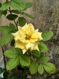 A flower from floribunda Rose family royalty free stock images