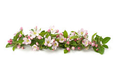 Flower and flower buds on apple spring Royalty Free Stock Image