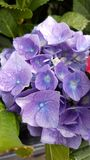 Flower. Purple, blue, yellow, cluster royalty free stock image