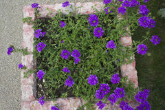 Flower on the flowerbed. A flower in a purple flower bed Royalty Free Stock Photo