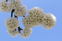 Flower. Ing fruit tree in spring Stock Photography