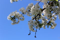 Flower. Ing fruit tree in spring Royalty Free Stock Images