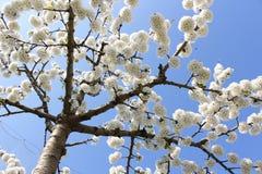 Flower. Ing fruit tree in spring Stock Image