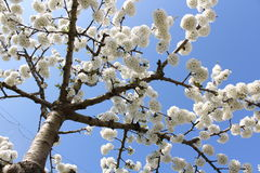Flower. Ing fruit tree in spring Royalty Free Stock Photography