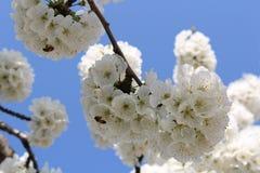 Flower. Ing fruit tree in spring Royalty Free Stock Image