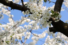 Flower. Ing fruit tree in spring Royalty Free Stock Photos