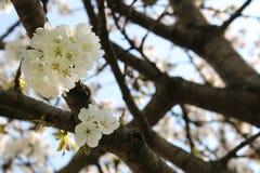 Flower. Ing fruit tree in spring Stock Photos