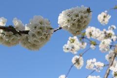 Flower. Ing fruit tree in spring Stock Photo