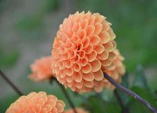 Flower, Flowering Plant, Dahlia, Plant royalty free stock image