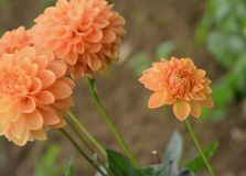 Flower, Flowering Plant, Dahlia, Plant stock photos