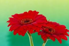 Flower, Flowering Plant, Gerbera, Daisy Family stock photos