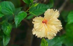 Flower, Flowering Plant, Hibiscus, Plant Stock Photo