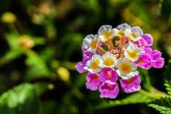 Flower, Flowering Plant, Lantana Camara, Flora royalty free stock images