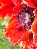 Flower, Flowering Plant, Orange, Petal Royalty Free Stock Photos