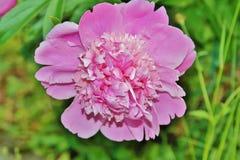 Flower, Flowering Plant, Peony, Plant stock image