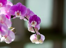 Flower, Flowering Plant, Pink, Flora Stock Photos