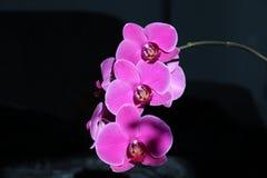 Flower, Flowering Plant, Pink, Flora royalty free stock image