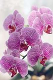 Flower, Flowering Plant, Pink, Purple royalty free stock photography