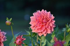 Flower, Flowering Plant, Plant, Dahlia royalty free stock photos