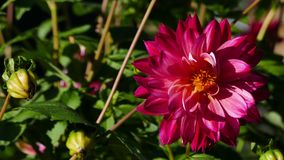 Flower, Flowering Plant, Plant, Dahlia Royalty Free Stock Images