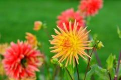 Flower, Flowering Plant, Plant, Dahlia Royalty Free Stock Image