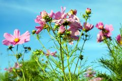 Flower, Flowering Plant, Plant, Garden Cosmos royalty free stock photography