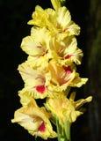 Flower, Flowering Plant, Plant, Gladiolus Stock Photo