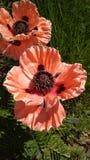 Flower, Flowering Plant, Plant, Petal royalty free stock image