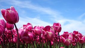 Flower, Flowering Plant, Plant, Tulip Royalty Free Stock Photos