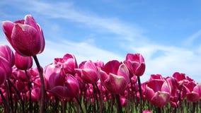 Flower, Flowering Plant, Plant, Tulip royalty free stock photos