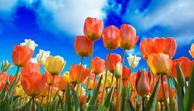 Flower, Flowering Plant, Plant, Tulip Royalty Free Stock Image
