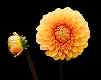 Flower, Flowering Plant, Yellow, Dahlia Royalty Free Stock Image