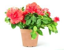 Flower in a flowerpot stock photography