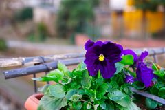 Flower in flowerpot, Potted flower. on white background.  royalty free stock photos