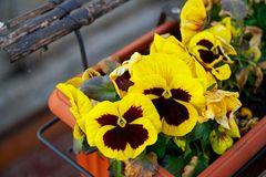 Flower in flowerpot, Potted flower. on white background.  royalty free stock images
