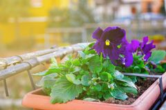 Flower in flowerpot, Potted flower. Isolated on white background.  royalty free stock photo
