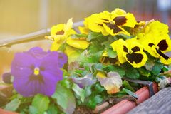 Flower in flowerpot, Potted flower. Isolated on white background.  royalty free stock photography