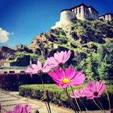 Flower. The flowers in front of potala palace stock images